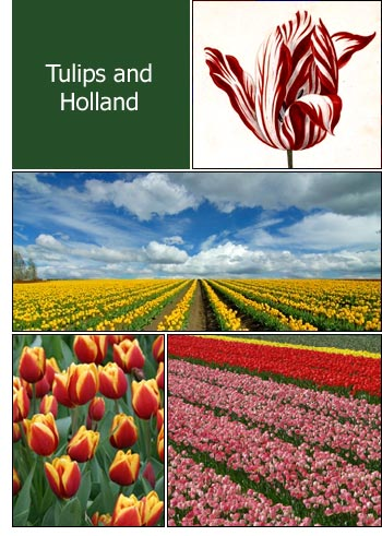 Tulips of Holland